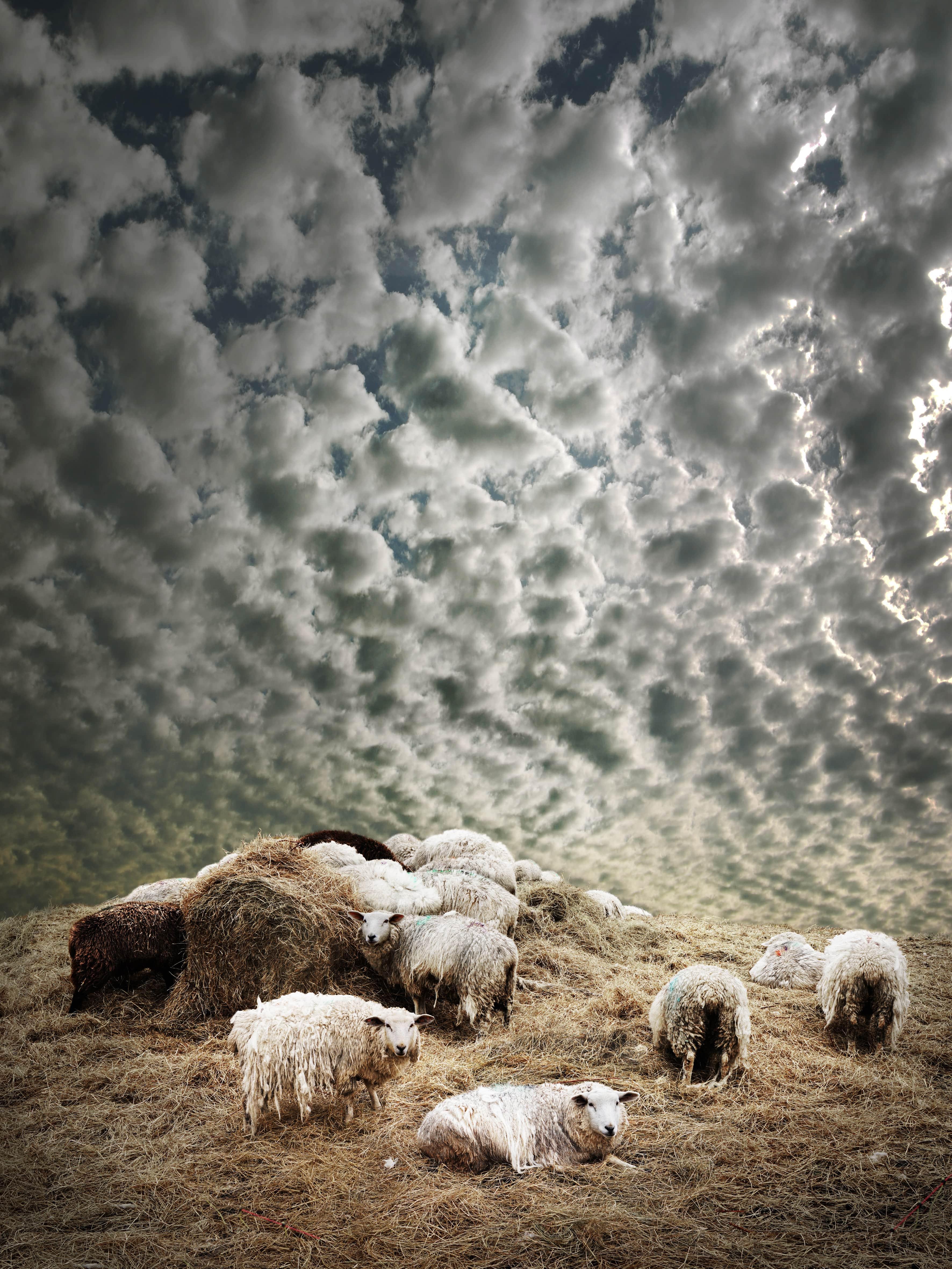 Schafe in Braderup