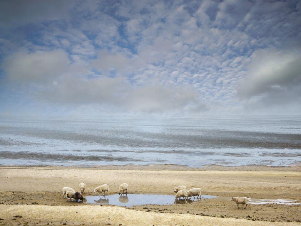 Morsum Schafe an ihrer Tränke